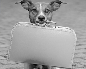 An adorable pet dog hold a packed suitcase in its mouth.